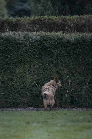 HEDGE SNIFF