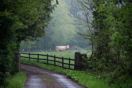 MI Cow On Lawn