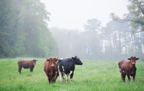 Cattle2